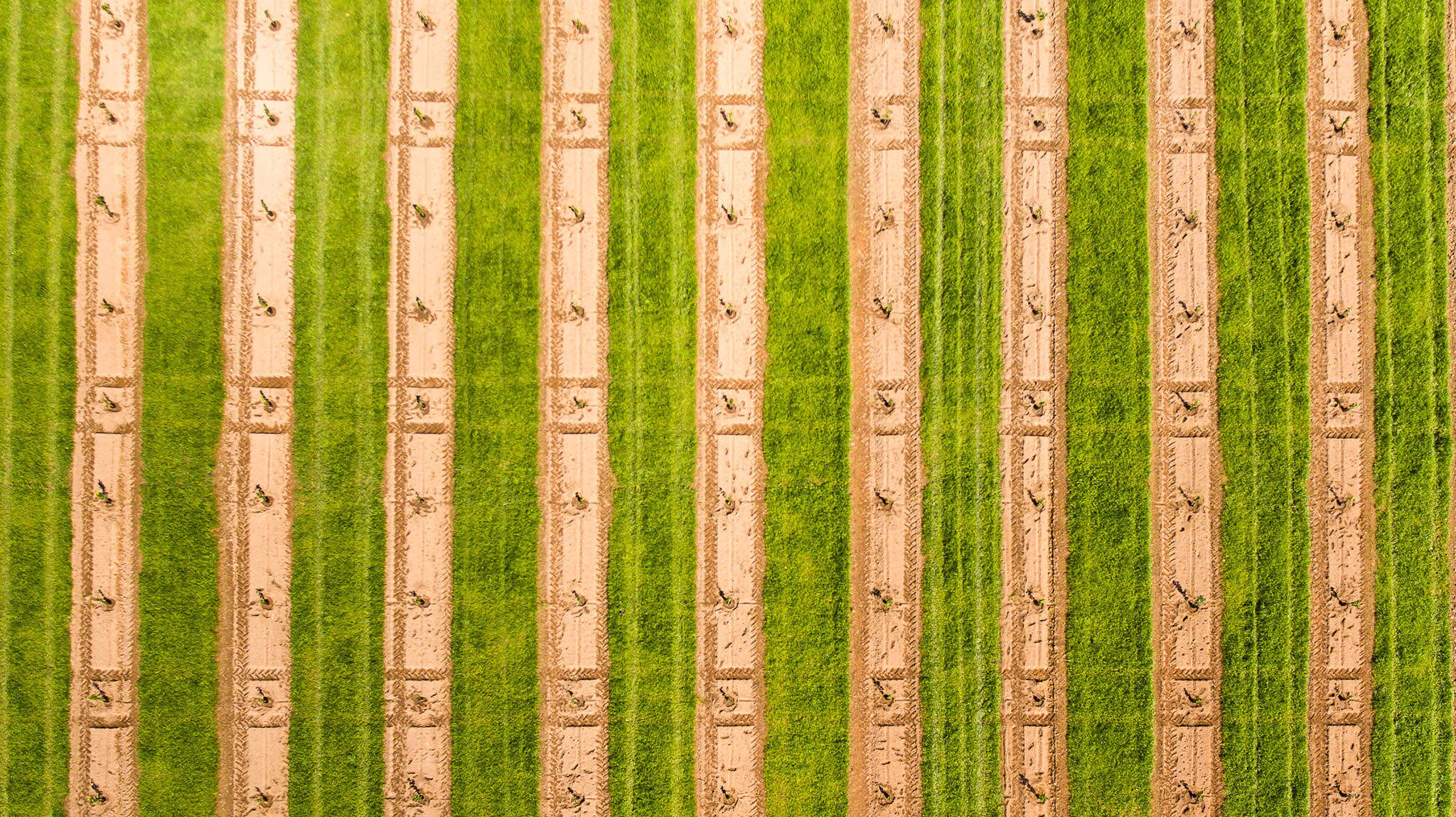 Aerial photo showing A geometric pattern of bare earth, grass, and tractor markings in a newly planted orchard. Photo by Caro Telfer