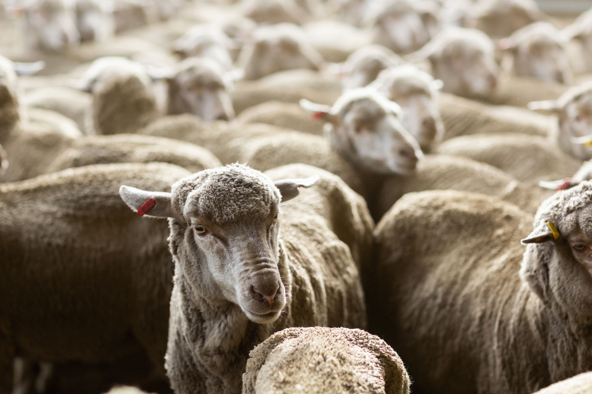 Photo of merino sheep