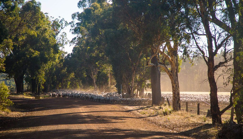 Photo of sheep on a country road by Caro Telfer.